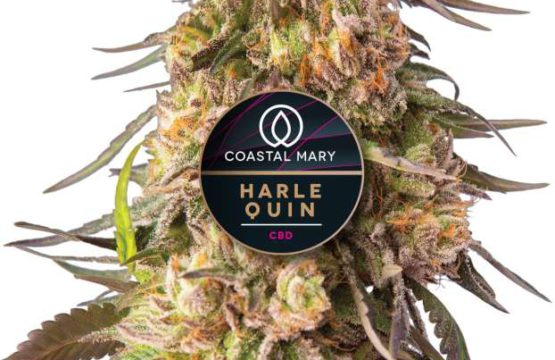 Harlequin CBD Feminized cannabis plant